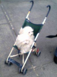 dogs_in_stroller.jpg